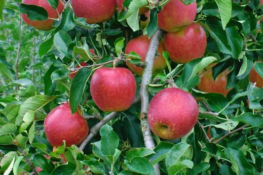 りんご6.JPG