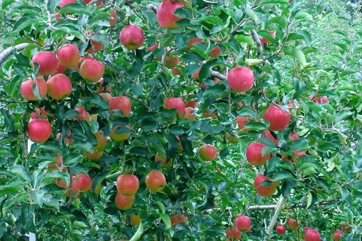 りんご7.JPG
