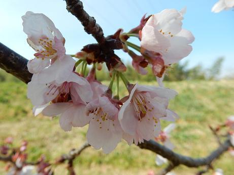 大寒桜1-1.JPG