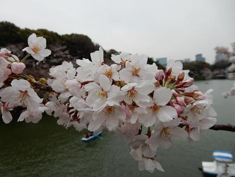 桜1-10.JPG