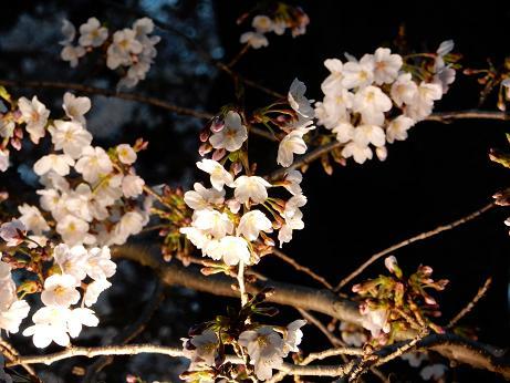 桜1-11.JPG