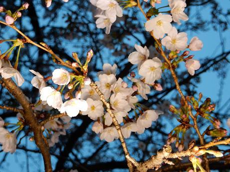 桜1-12.JPG