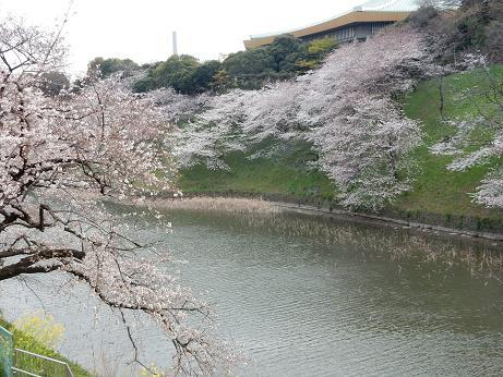 桜1-2.JPG