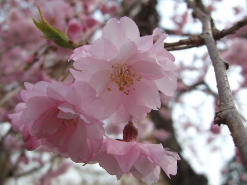 桜1-3.JPG
