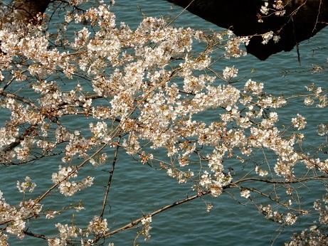 桜2-11.jpg