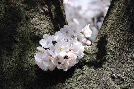 桜2-13.JPG