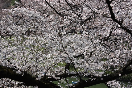 桜2-3.jpg