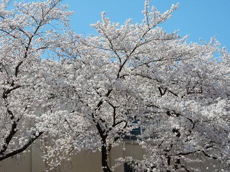 桜3-1.JPG