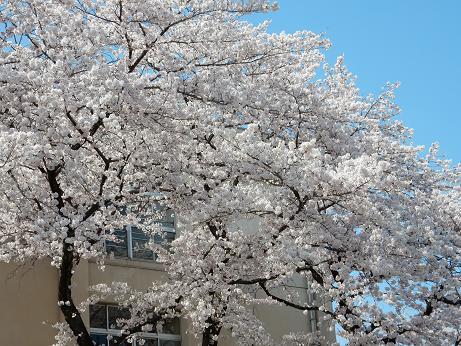 桜3-2.JPG