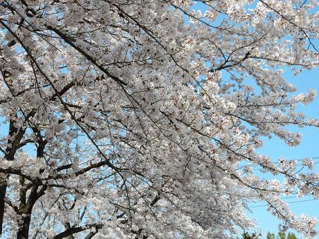 桜3-3.JPG