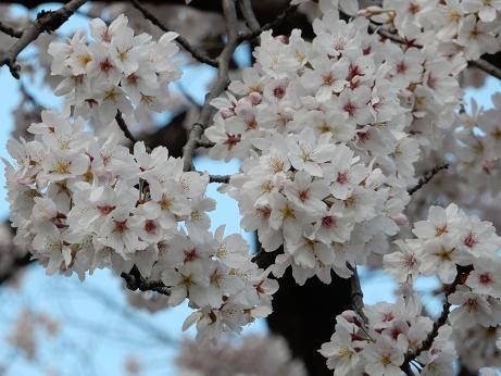 桜3-4.JPG