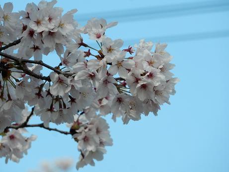桜3-5.JPG