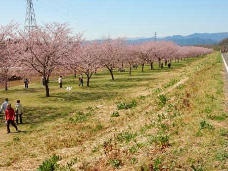 桜4-1.JPG