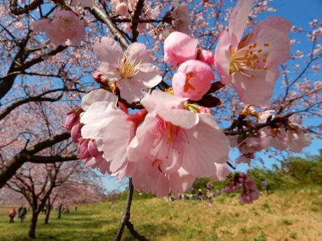 桜4-10.JPG