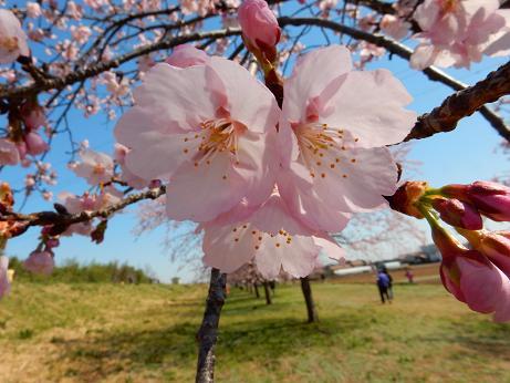 桜4-12.JPG