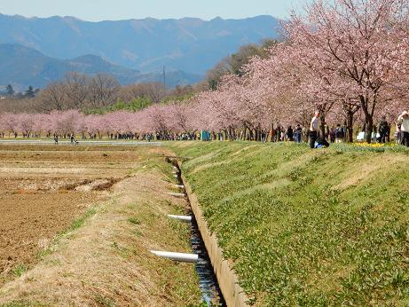 桜4-3.JPG
