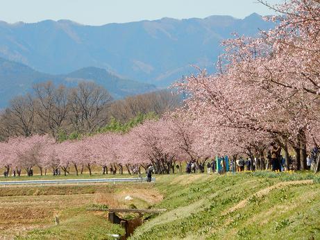 桜4-4.JPG