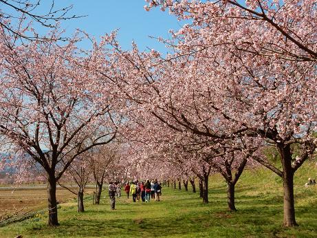 桜4-5.JPG