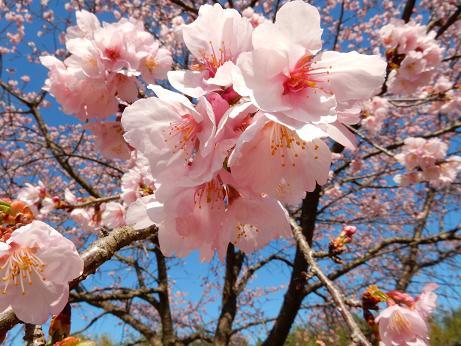 桜4-7.JPG