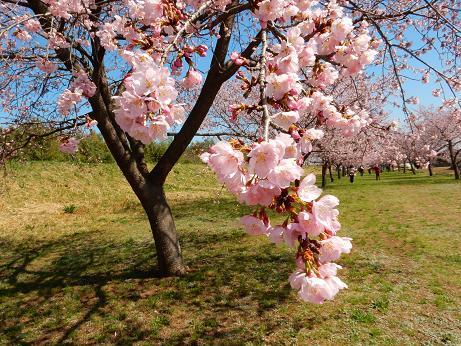 桜4-8.JPG
