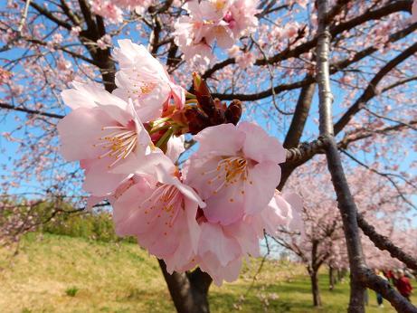 桜4-9.JPG