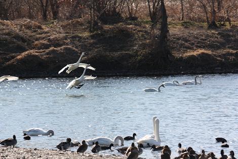 白鳥1-11.JPG