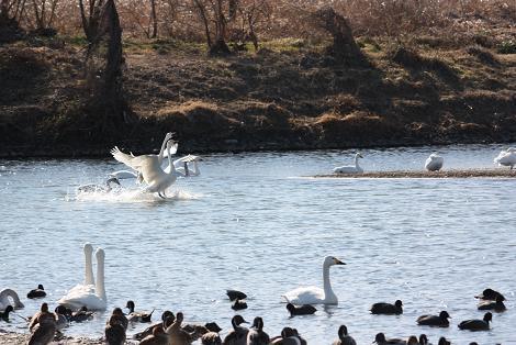 白鳥1-12.JPG