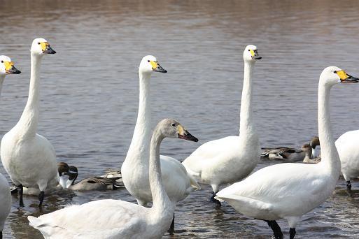 白鳥2-5.JPG