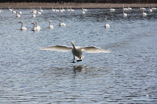 白鳥2-7.JPG