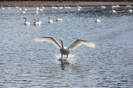 白鳥2-8.JPG