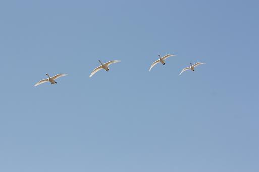 白鳥3-5.JPG