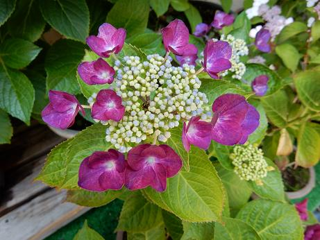 紫陽花1-11.JPG
