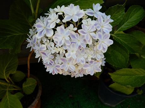 紫陽花1-15.JPG