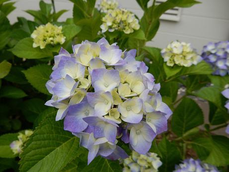 紫陽花1-16.JPG