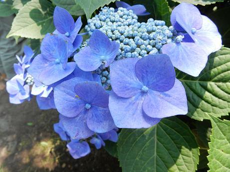 紫陽花1-4.JPG