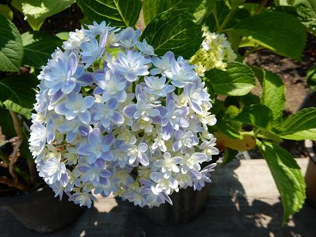 紫陽花1-5.JPG