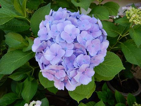 紫陽花1-8.JPG
